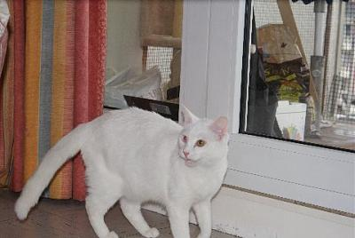 Trouvé Chat blanc Paris-francis3.jpg