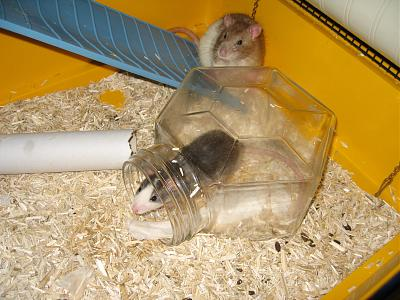 URGENT 6 Rats males a adopter-img_1657.jpg