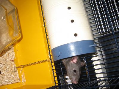 URGENT 6 Rats males a adopter-img_1659.jpg