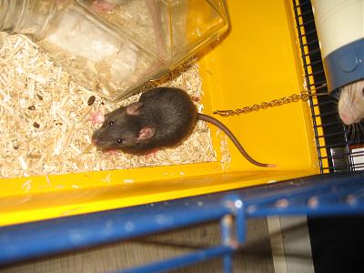 URGENT 6 Rats males a adopter-img_1662.jpg