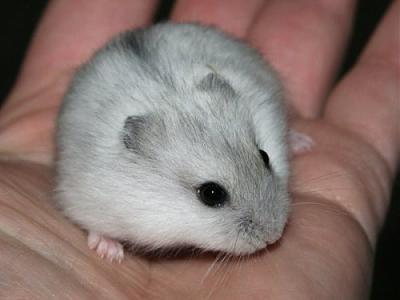 URGENT hamsters russes-mod_article1407019_15.jpg