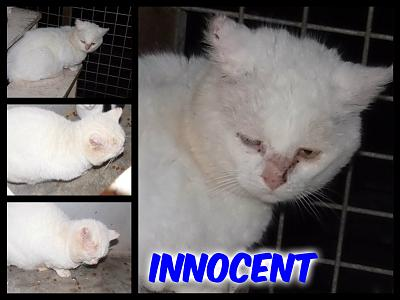 URGENT-- REFUGE SATURE--70 CHATS--(Bethune) - post 13-13 -- eutha le 31/12/13-innocent.jpg