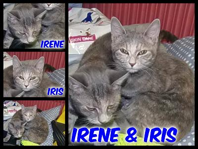 URGENT-- REFUGE SATURE--70 CHATS--(Bethune) - post 13-13 -- eutha le 31/12/13-irene-and-iris.jpg