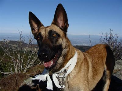 WHISKY TYPE MALINOISE  2 ANS  dans le 42 ch adoptants.-whisky.jpg