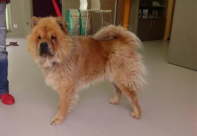 wykett male chow chow a adopter refuge de poulainville 80. Black Bedroom Furniture Sets. Home Design Ideas