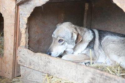 YELLOW - CROISE CHIEN LOUP - 8 ANS - SOS !!! - REFUGE ALINA-12096397_1682723975298373_5212989224660274264_n.jpg