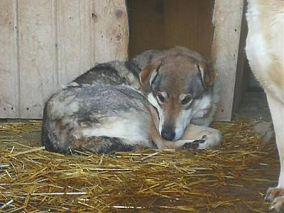 YELLOW - CROISE CHIEN LOUP - 8 ANS - SOS !!! - REFUGE ALINA-26167294_1176519739145403_6816467729309599388_n.jpg