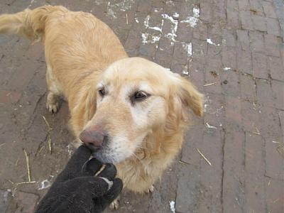 ZLATAN, né en 2011, gentil et dynamique golden retriever à adopter (Serbie)-03-01-2017.jpg