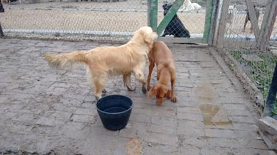 ZLATAN, né en 2011, gentil et dynamique golden retriever à adopter (Serbie)-09-12-2015-2.jpg