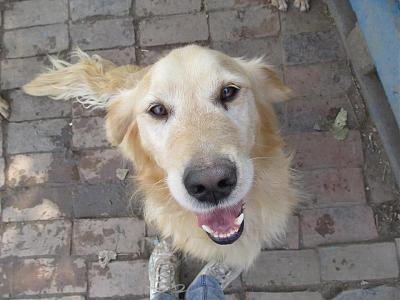 ZLATAN, né en 2011, gentil et dynamique golden retriever à adopter (Serbie)-17-09-2016-3.jpg