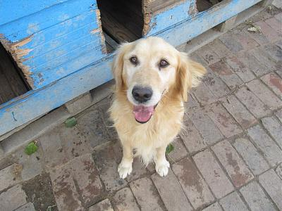 ZLATAN, né en 2011, gentil et dynamique golden retriever à adopter (Serbie)-17-09-2016.jpg