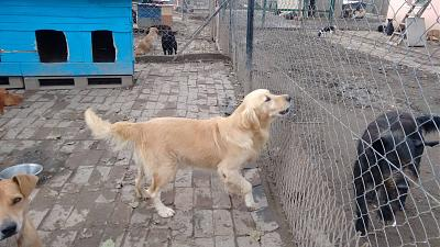 ZLATAN, né en 2011, gentil et dynamique golden retriever à adopter (Serbie)-21-10-2015-2.jpg