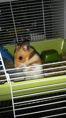9 hamsters syriens à l'adoption-hodor.jpg