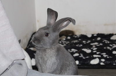 [Bientôt à l'adoption] Roswell, association Happy Bunny-roswell-1.png
