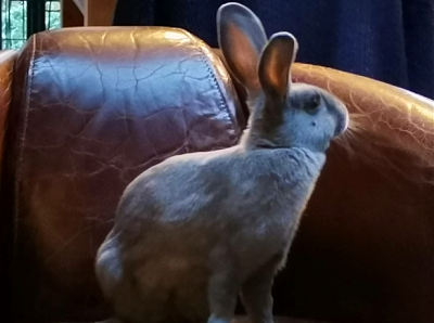 [Bientôt à l'adoption] Roswell, association Happy Bunny-roswell-11.png