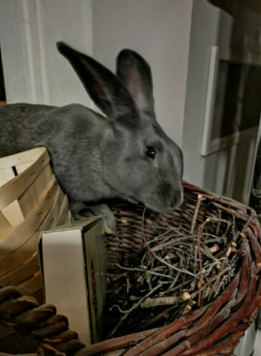 [Bientôt à l'adoption] Roswell, association Happy Bunny-roswell-12.png