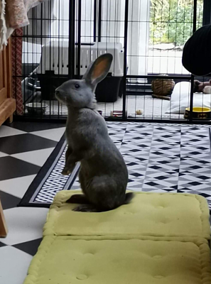 [Bientôt à l'adoption] Roswell, association Happy Bunny-roswell-13.png