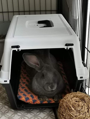 [Bientôt à l'adoption] Roswell, association Happy Bunny-roswell-15.png