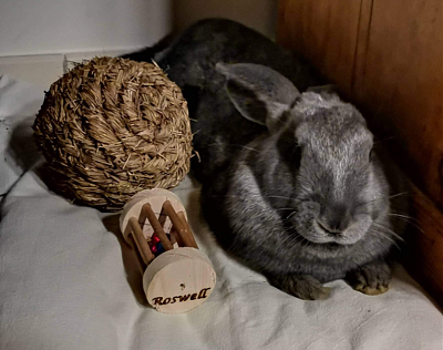 [Bientôt à l'adoption] Roswell, association Happy Bunny-roswell-16.png