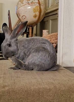 [Bientôt à l'adoption] Roswell, association Happy Bunny-roswell-17.png