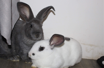 [Bientôt à l'adoption] Roswell, association Happy Bunny-roswell-19.png