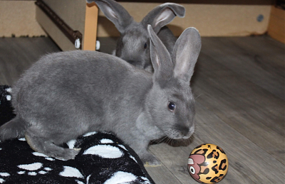 [Bientôt à l'adoption] Roswell, association Happy Bunny-roswell-20.png