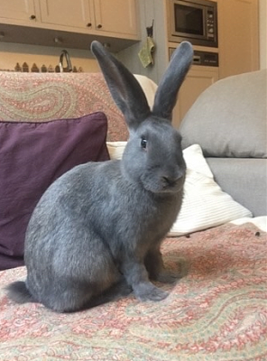 [Bientôt à l'adoption] Roswell, association Happy Bunny-roswell-26.png
