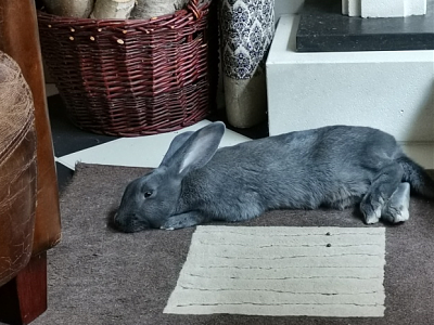 [Bientôt à l'adoption] Roswell, association Happy Bunny-roswell-28.png