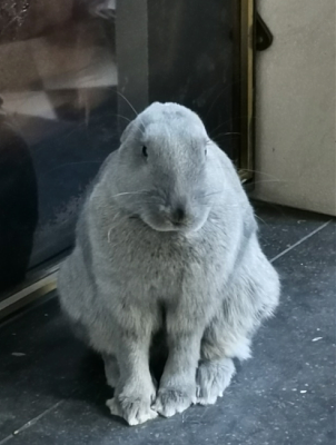 [Bientôt à l'adoption] Roswell, association Happy Bunny-roswell-30.png