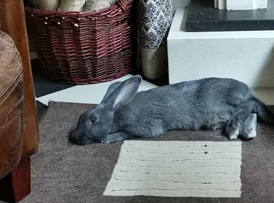 [Bientôt à l'adoption] Roswell, association Happy Bunny-roswell-33.png