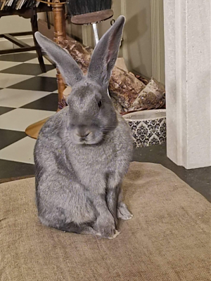 [Bientôt à l'adoption] Roswell, association Happy Bunny-roswell-36.png