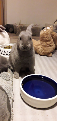 [Bientôt à l'adoption] Roswell, association Happy Bunny-roswell-8.png