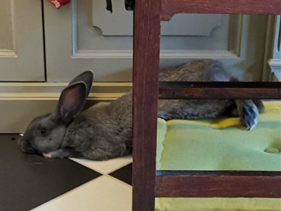 [Bientôt à l'adoption] Roswell, association Happy Bunny-roswell-9.png