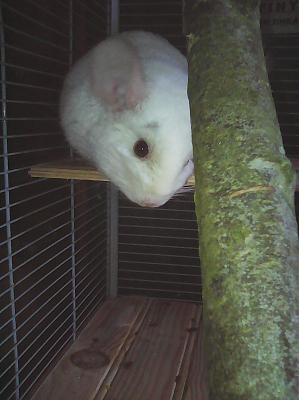 Chinchillas à l'adoption chez les gombertins-img_20180113_133215.jpg