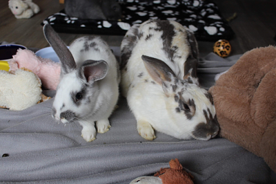 [A l'adoption] Ambrose, association Happy Bunny-sweety-2.png