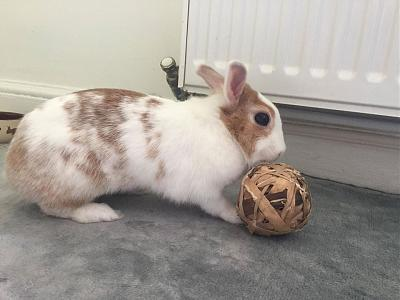 [A l'adoption] Cannelle, lapine stérilisée, association Happy Bunny-106612288_764667777606071_3758821350350036375_o.jpg