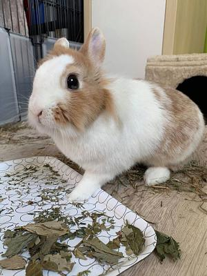 [A l'adoption] Cannelle, lapine stérilisée, association Happy Bunny-106711067_764667557606093_4188217669949537413_o.jpg