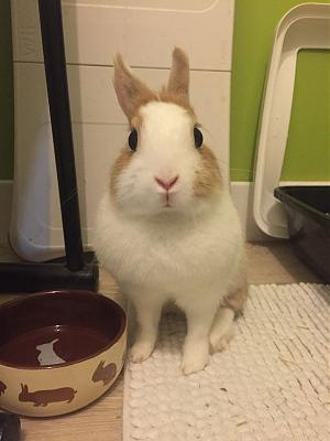 [A l'adoption] Cannelle, lapine stérilisée, association Happy Bunny-68820597_531958630876988_1700011604092911616_n.jpg