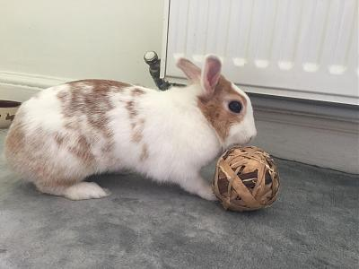 [A l'adoption] Cannelle, lapine stérilisée, association Happy Bunny-69689466_522404408585846_2211168465287380992_n.jpg
