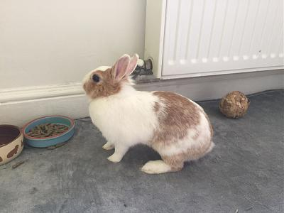 [A l'adoption] Cannelle, lapine stérilisée, association Happy Bunny-70030732_422170655170957_3592296086435266560_n.jpg