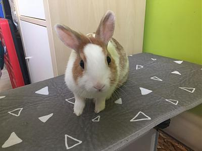 [A l'adoption] Cannelle, lapine stérilisée, association Happy Bunny-70253372_545952416144276_6787662479469051904_n.jpg