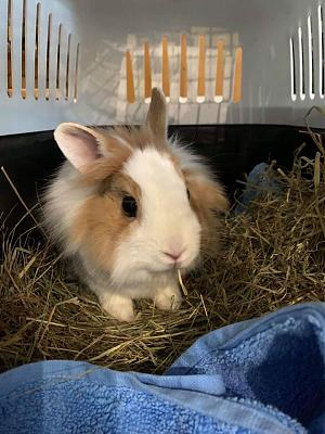 [A l'adoption] Cannelle, lapine stérilisée, association Happy Bunny-82717409_650767955662721_571233489341382656_o.jpg