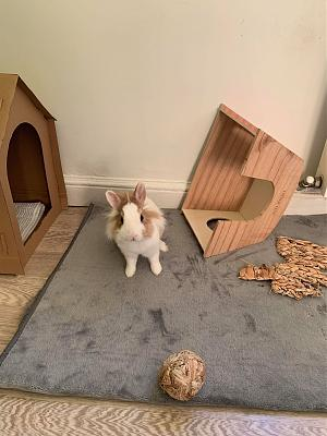 [A l'adoption] Cannelle, lapine stérilisée, association Happy Bunny-84397536_2715083508606425_2177436298950737920_n.jpg