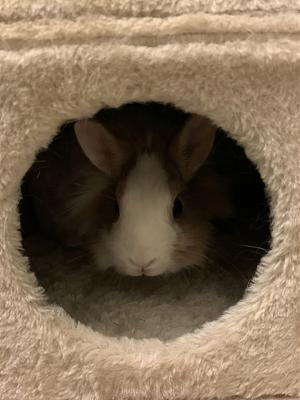 [A l'adoption] Cannelle, lapine stérilisée, association Happy Bunny-85169420_662038457869004_4652372106183442432_o.jpg
