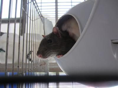 Rat âgé à l'adoption-img_2054.jpg