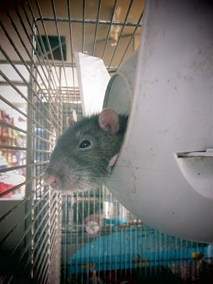 Rat âgé à l'adoption-img_3786.jpg