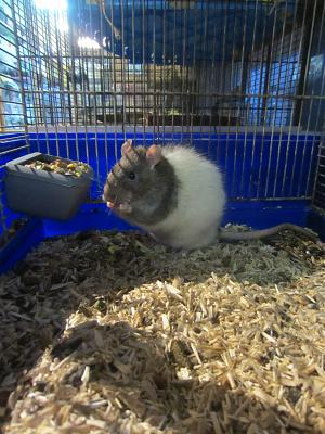 Rat âgé à l'adoption-img_4234.jpg
