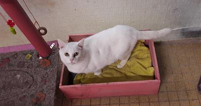 BILLY (M), loulou tout blanc, timide mais gentil, complètement invisible, CALICI (35)-billy0.jpg