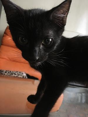 Black un super chaton noir gentil, sociable et doux-black-2-mois-paris-18.jpg