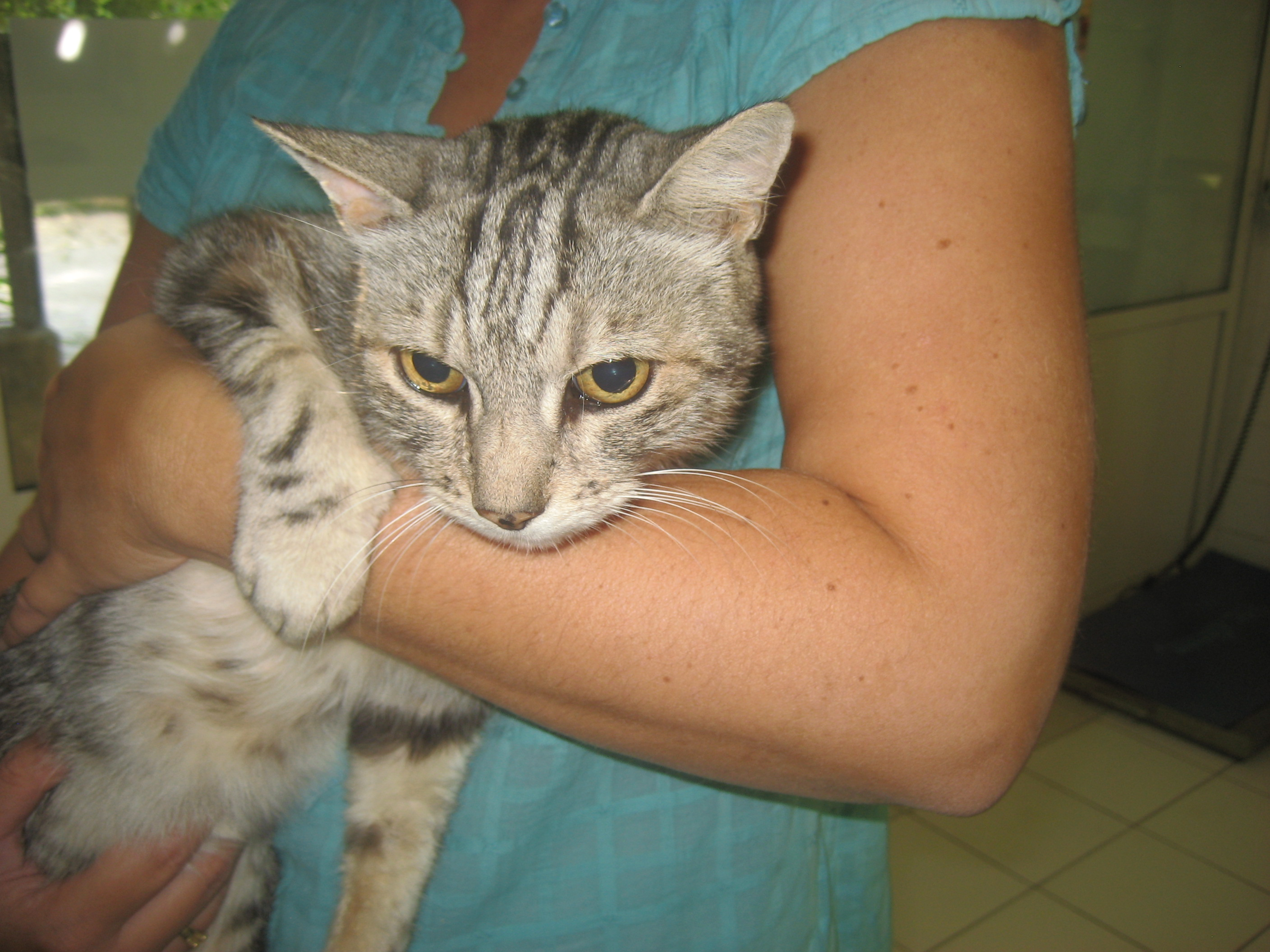 Chat FIV+, risque eutha, SPA Vauclusienne.  Chat-fiv-5-ans-environ-chat-beaumes